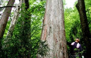 天然林の中のアシウスギ(朽木)