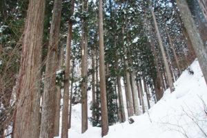 takashima_sugi